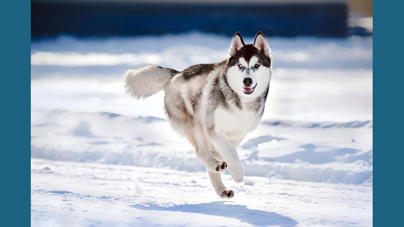 Siberian Husky 1