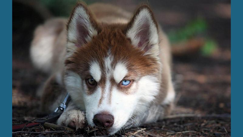 Siberian Husky 10