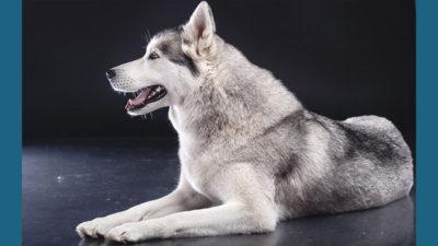 Siberian Husky 11