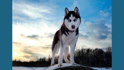 Siberian Husky 12