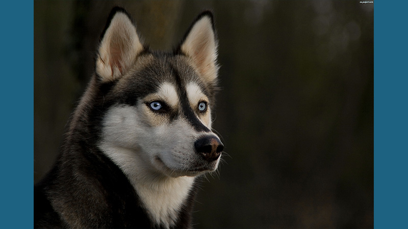 Siberian Husky 13