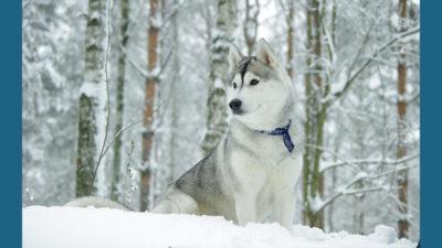 Siberian Husky 14
