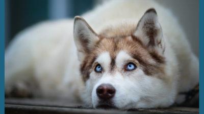 Siberian Husky 15