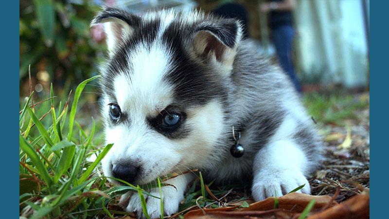 Siberian Husky 17