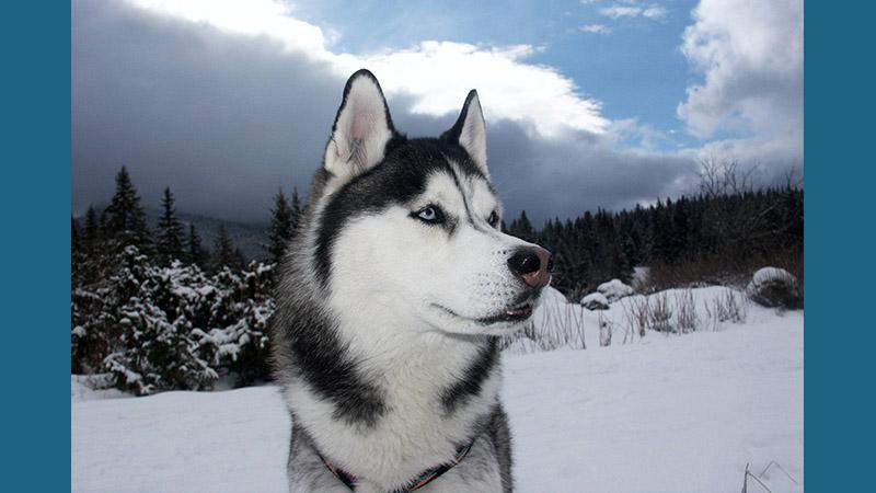 Siberian Husky 7