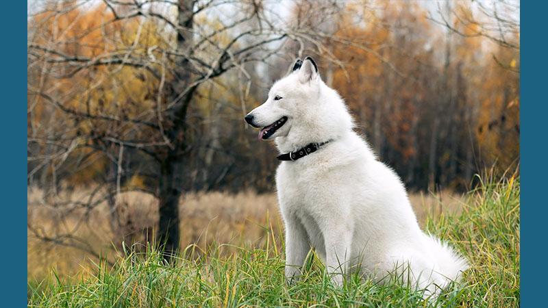 Siberian Husky 8