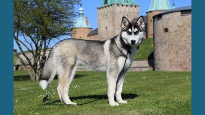Siberian Husky 9