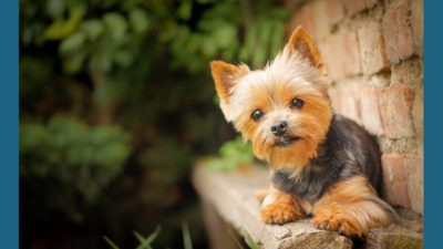 Silky Terrier 12