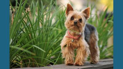 Silky Terrier 4