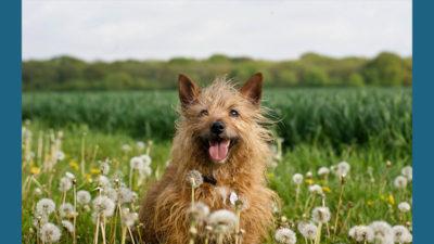 Silky Terrier 5