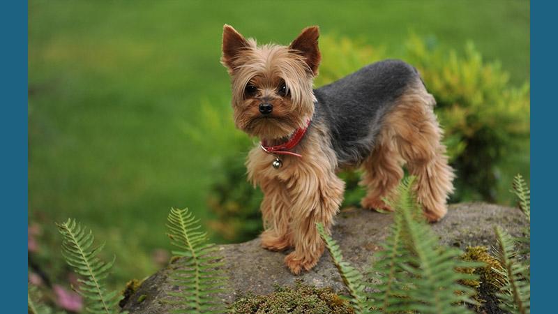 Silky Terrier 6