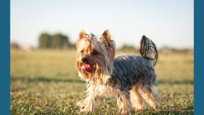Silky Terrier 7
