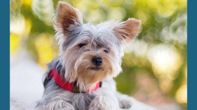 Silky Terrier 9