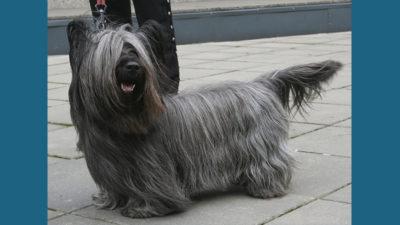 Skye Terrier 1