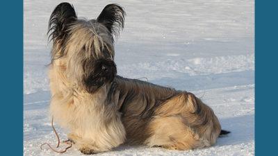 Skye Terrier 2