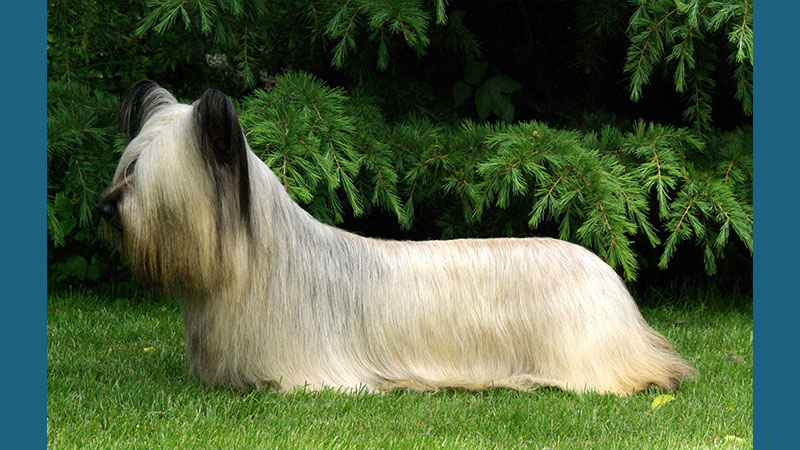 Skye Terrier 3