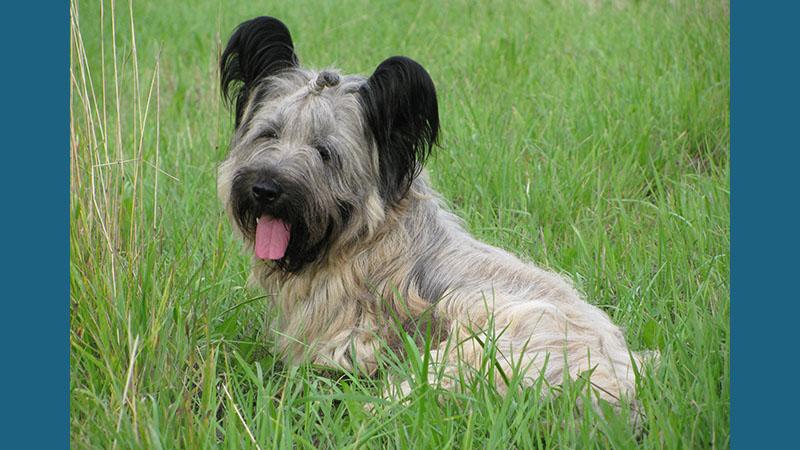 Skye Terrier 4