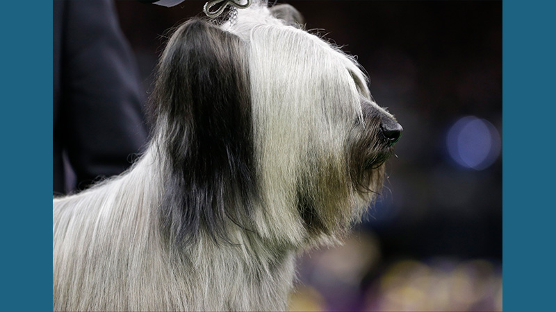 Skye Terrier 5
