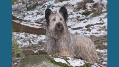 Skye Terrier 6