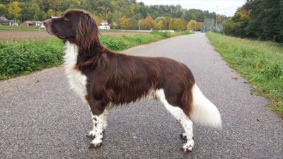Small Munsterlander Pointer 1