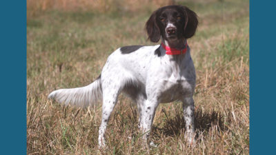 Small Munsterlander Pointer 10