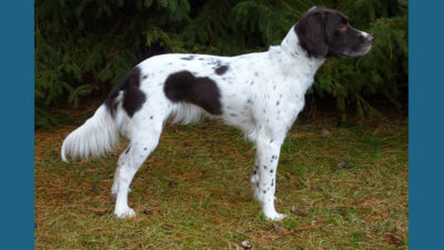 Small Munsterlander Pointer 11