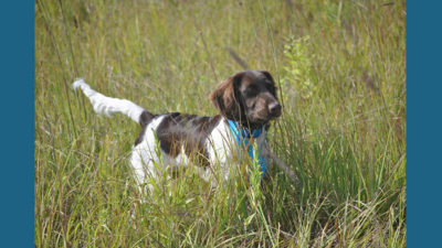 Small Munsterlander Pointer 13