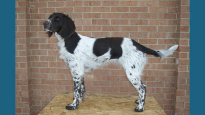 Small Munsterlander Pointer 14