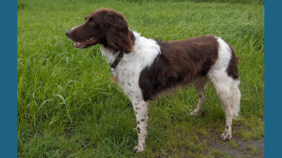 Small Munsterlander Pointer 2