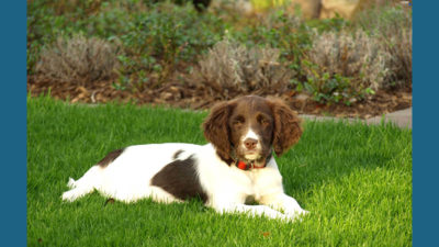 Small Munsterlander Pointer 3