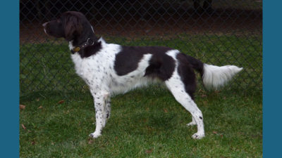 Small Munsterlander Pointer 6