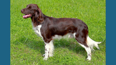 Small Munsterlander Pointer 8