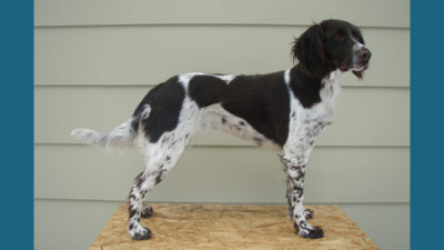 Small Munsterlander Pointer 9