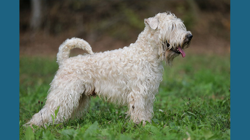 Soft Coated Wheaten Terrier 1