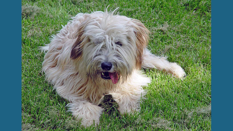 Soft Coated Wheaten Terrier 2