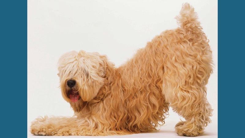 Soft Coated Wheaten Terrier 4