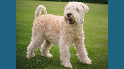 Soft Coated Wheaten Terrier 5
