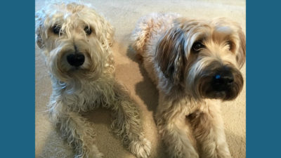 Soft Coated Wheaten Terrier 6