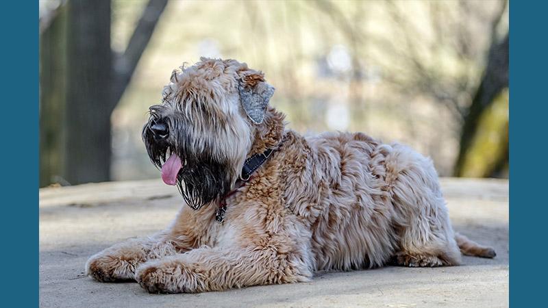 Soft Coated Wheaten Terrier 7