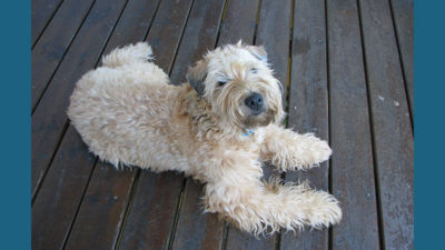 Soft Coated Wheaten Terrier 8