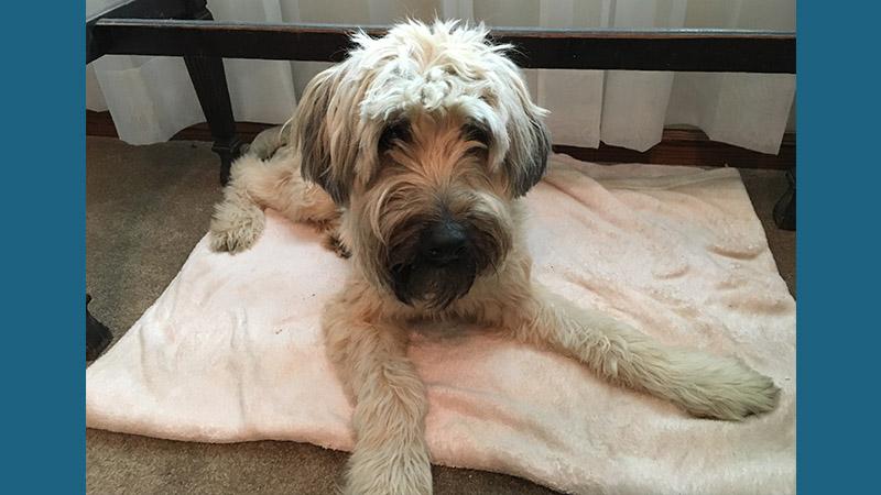 Soft Coated Wheaten Terrier 9