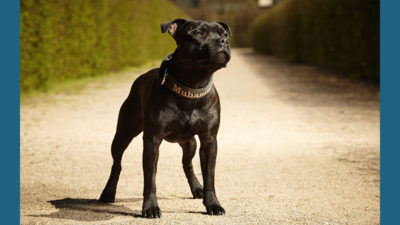 Staffordshire Bull Terrier 1