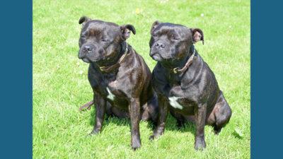 Staffordshire Bull Terrier 10