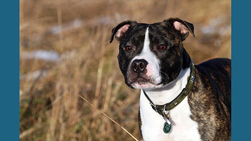 Staffordshire Bull Terrier 11