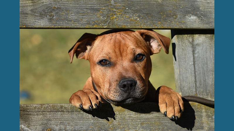 Staffordshire Bull Terrier 14