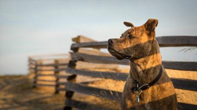 Staffordshire Bull Terrier 15
