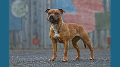 Staffordshire Bull Terrier 2