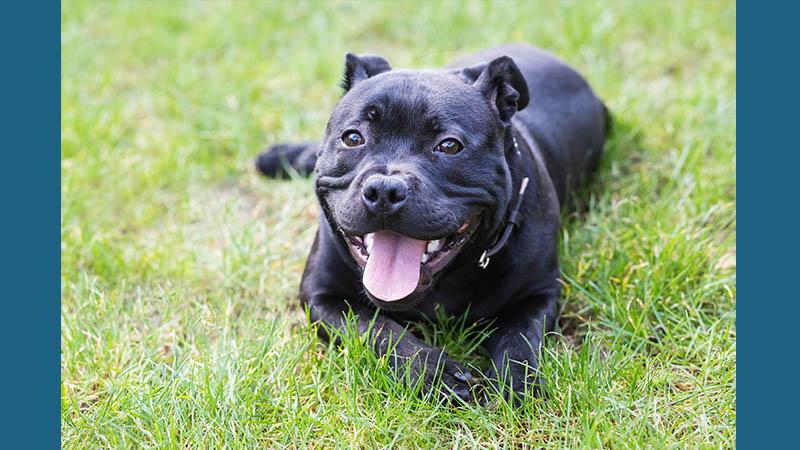 Staffordshire Bull Terrier 6