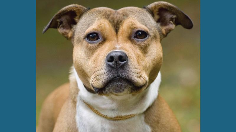 Staffordshire Bull Terrier 7