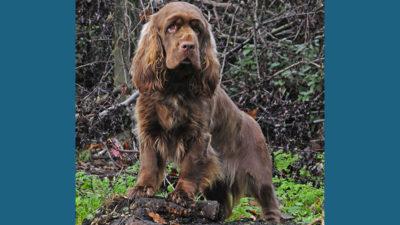 Sussex Spaniel 5
